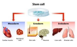 Sample Essays High School Students Writewell How To Write A Stem Cell Research Essay Synthesis Essay Ideas also English Literature Essays Essay On The Importance Of Stem Cell Research Stem Cell Essays On Health Care